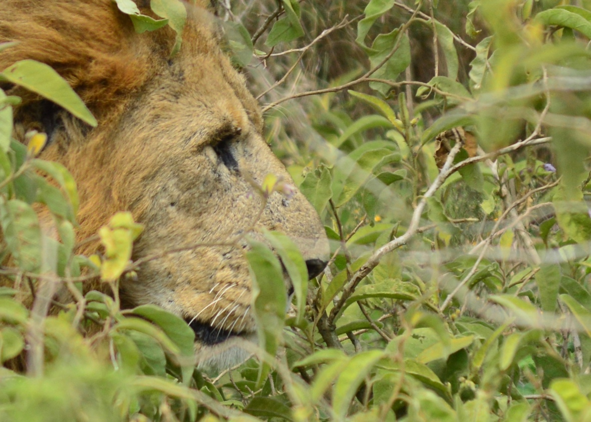 Male lion profile in Lake Nakuru National Park, Kenya