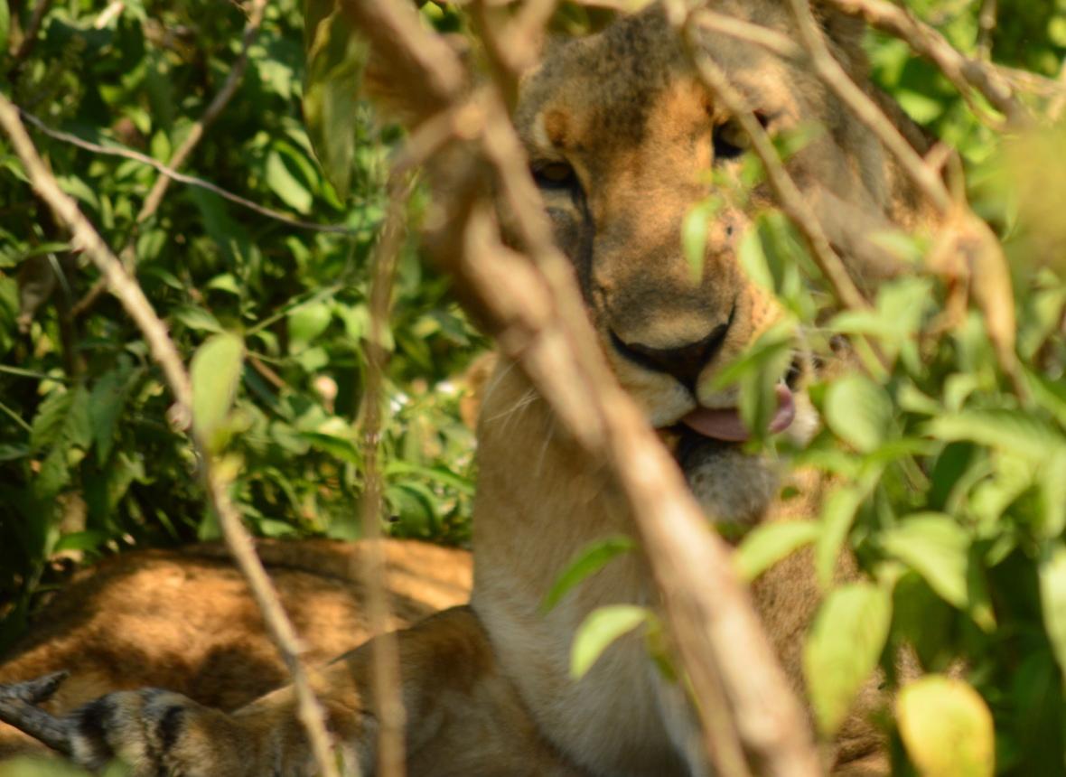Female lion in Lake Nakuru National Park, Kenya