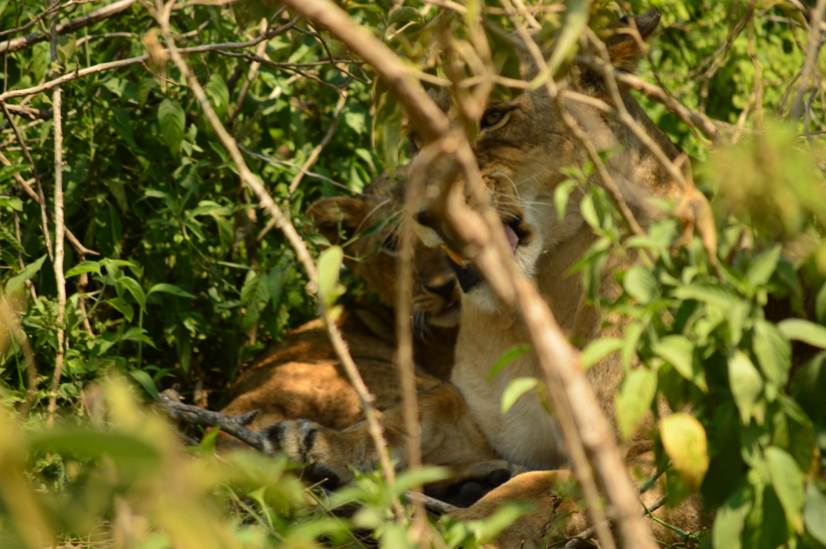 Female lion in bushes in Lake Nakuru National Park, Kenya