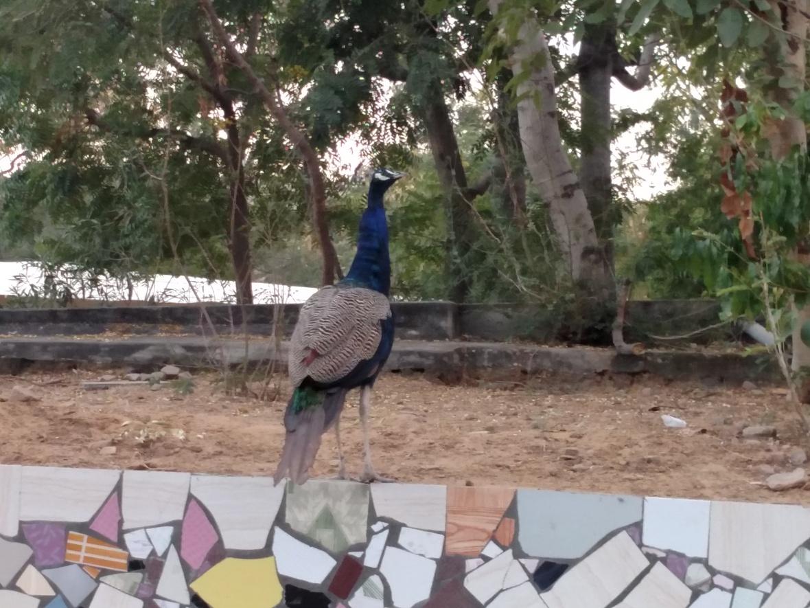 Dhamma Thali, Jaipur - peacock
