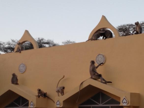 Dhamma Thali, Jaipur - monkeys