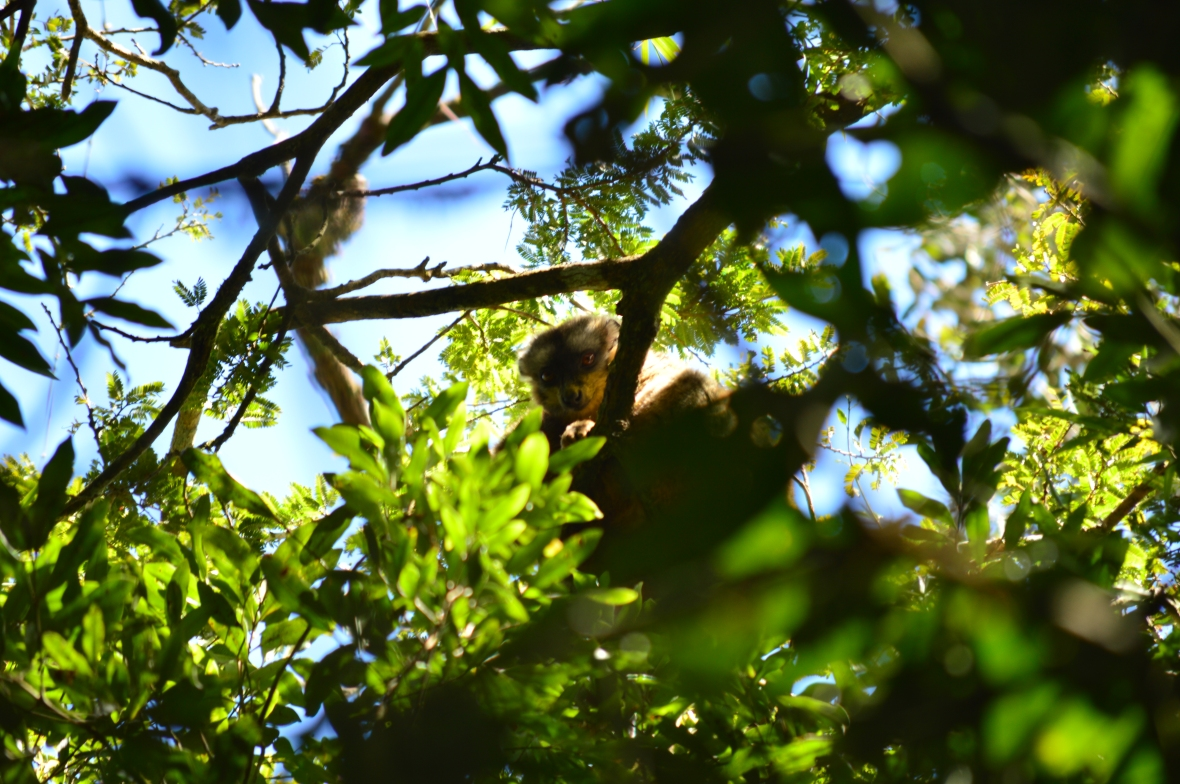 Either a Grey or Greater Bamboo Lemur in Ranomafana National Park, Madagascar