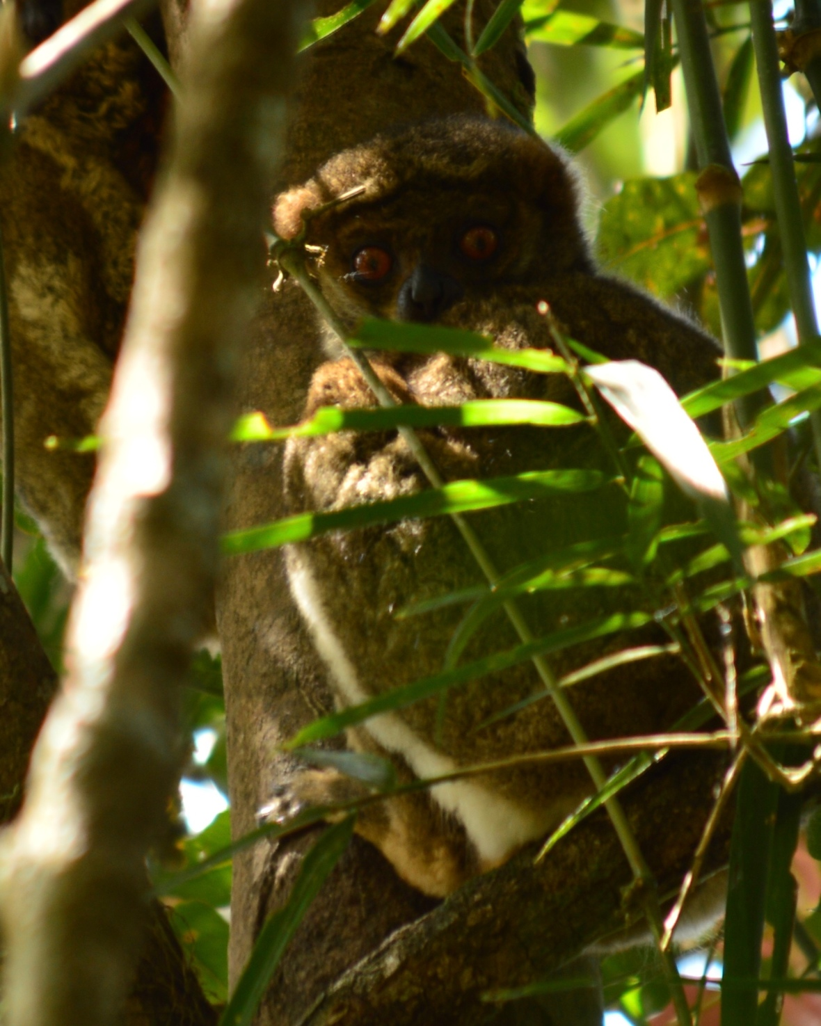 Small-toothed sportive lemur in Ranomafana National Park, Madagasar