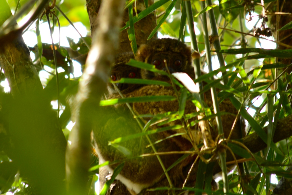 Two small-toothed sportive lemurs hugging in a tree in Ranomafana National Park, Madagascar
