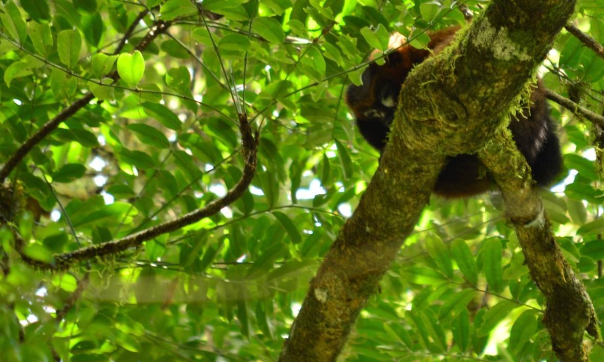 Red-bellied lemur in Ranomafana National Park, Madagascar