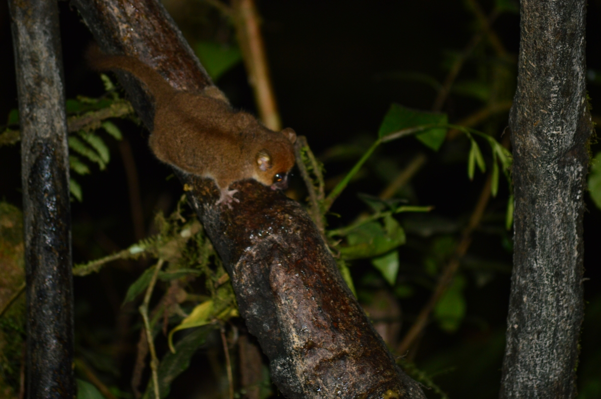 Red mouse lemur in Ranomafana National Park, Madagascar