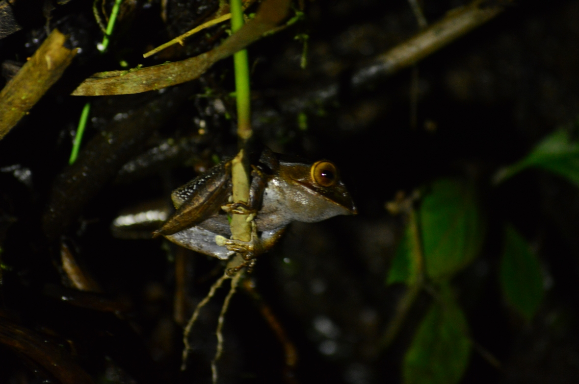 Frog hanging from a twig in Ranomafana National Park, Madagascar