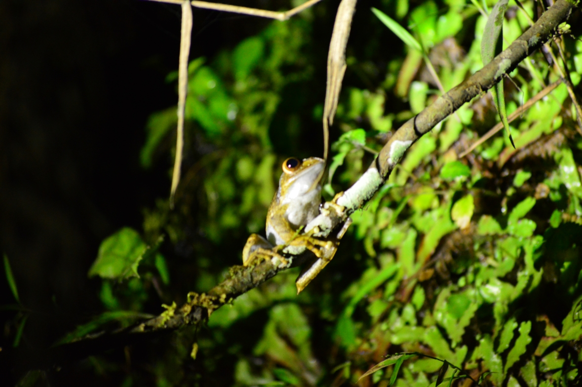 Frog in Ranomafana National Park, Madagascar