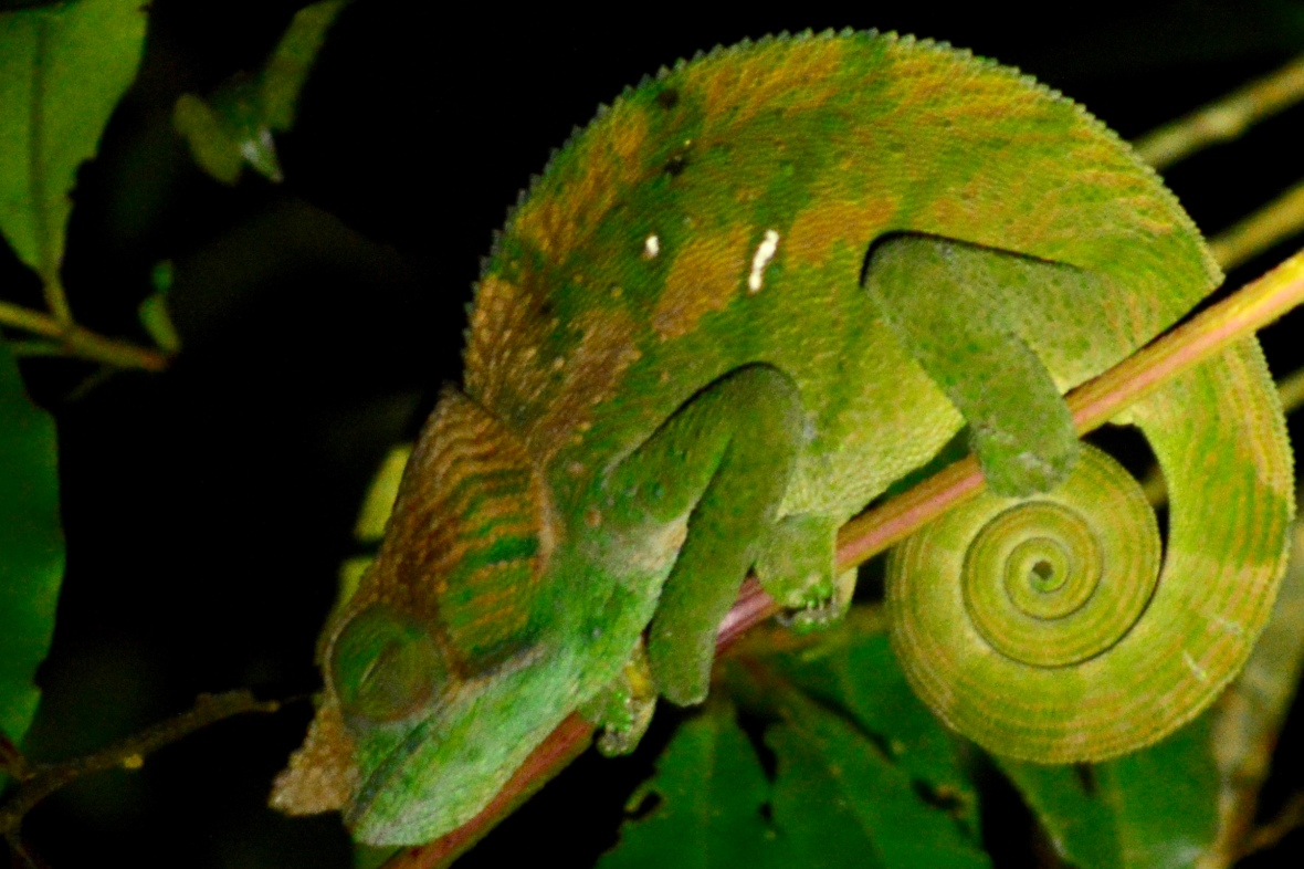 Short-nosed chameleon in Ranomafana National Park, Madagascar