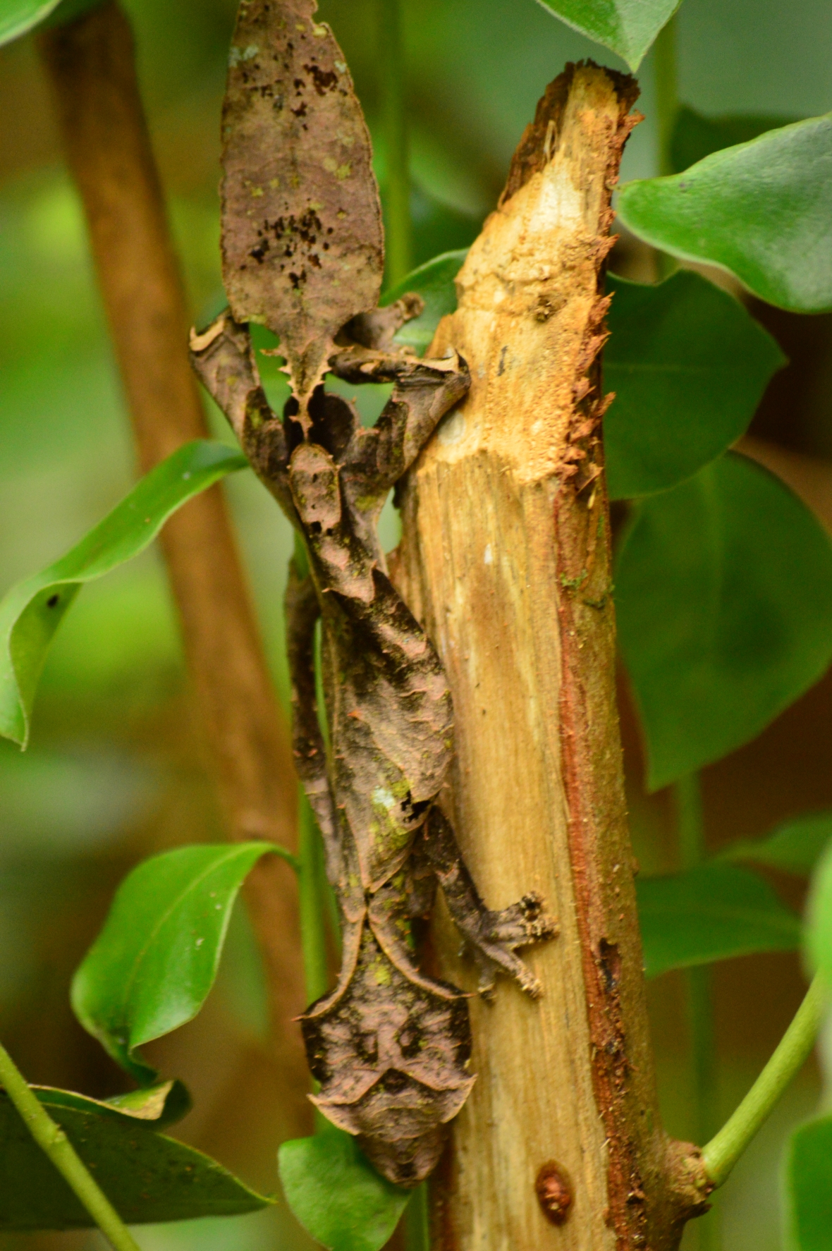 Leaf tail gecko is the master of camouflage in in Ranomafana National Park, Madagascar