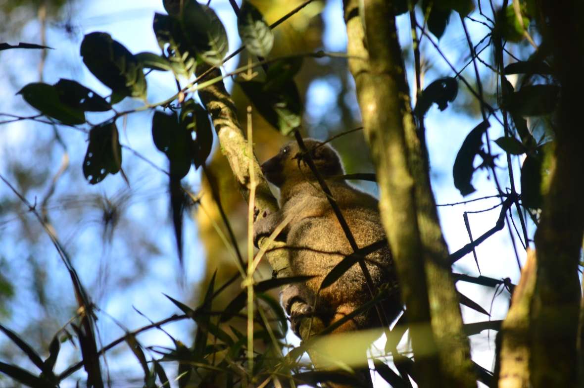Golden bamboo lemur in Ranomafana National Park, Madagascar
