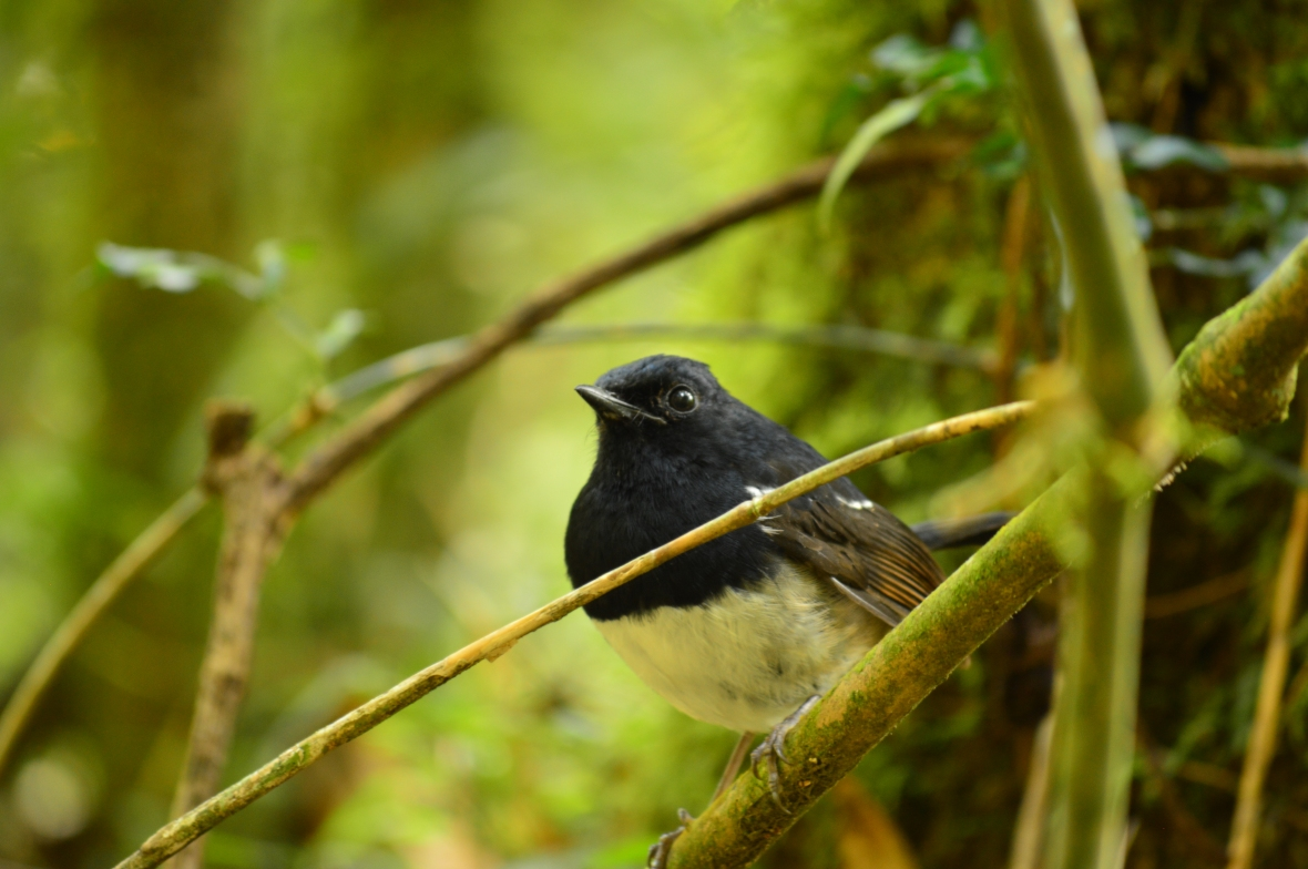 Magpie Robin posing for the camera in Ranomafana National Park, Madagascar