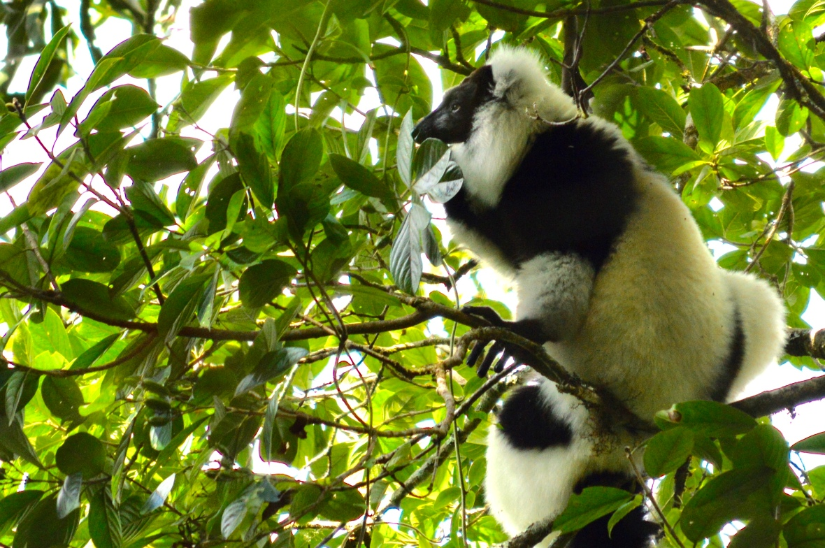 Black-and-white ruffed lemur surveying the scene in Ranomafana National Park, Madagascar