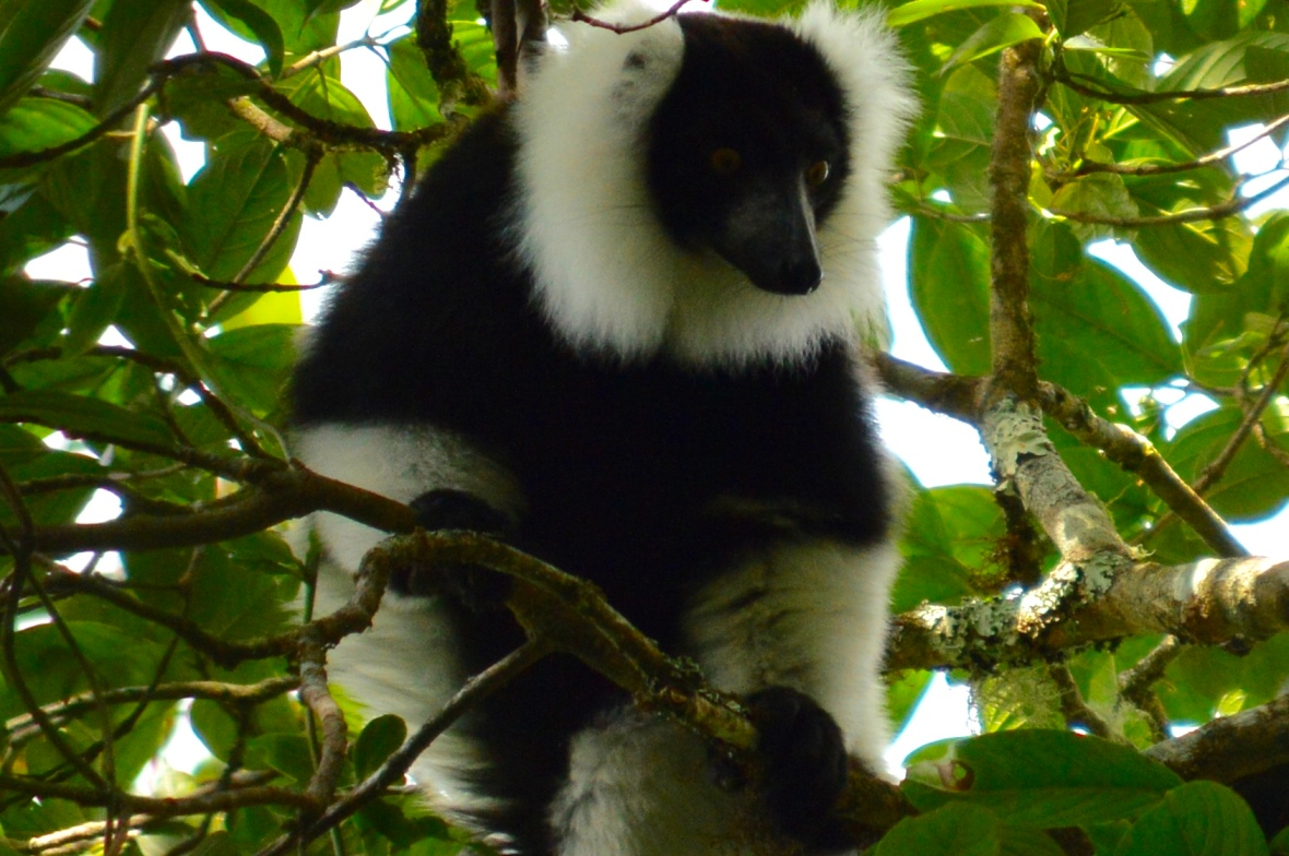 Close-up photo of black-and-white ruffed lemur surveying the scene in Ranomafana National Park, Madagascar