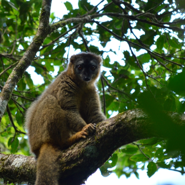 Greater bamboo lemur staring me down in Ranomafana National Park, Madagascar