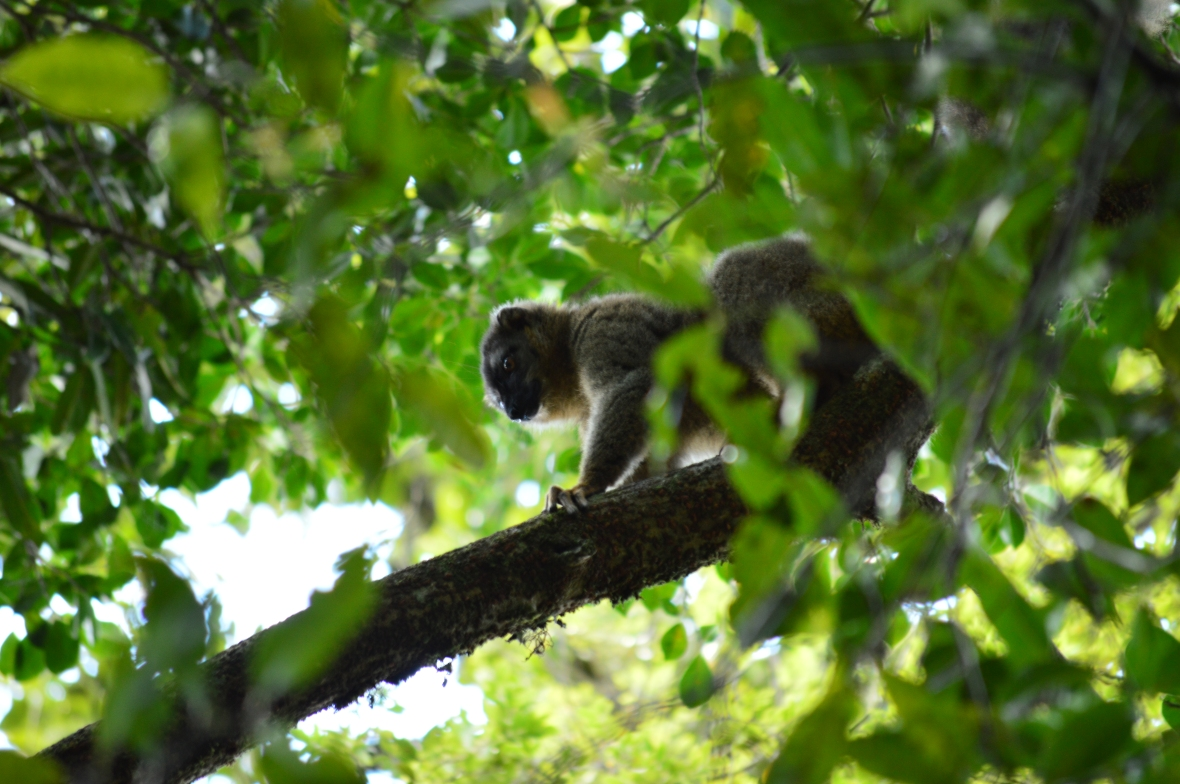Greater bamboo lemur in Ranomafana National Park, Madagascar